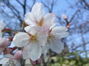 Sakura_c1